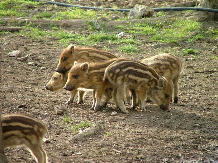 Wild Boar Piglets in Montioni, in Maremma Livornese