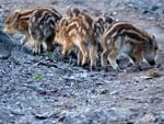 Wild boar piglets in Maremma Tuscany