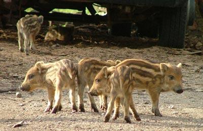 Wild boar piglets Maremma Tuscany