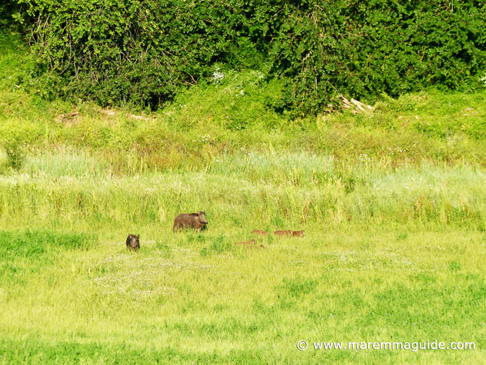 Wild boar sounder foraging for food early evening in Maremma Tuscany.