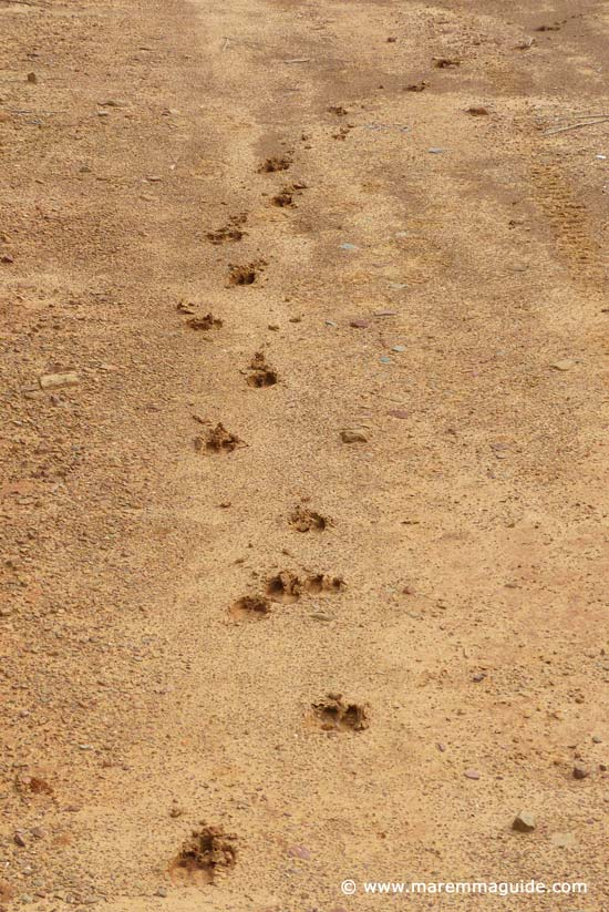 Wild boar tracks along a coastal footpath in Maremma Tuscany
