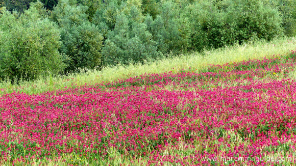 Italian Wild Flowers Blooming In Tuscany Italy May