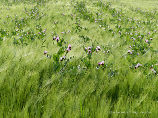 Wild flowers in Tuscany in May