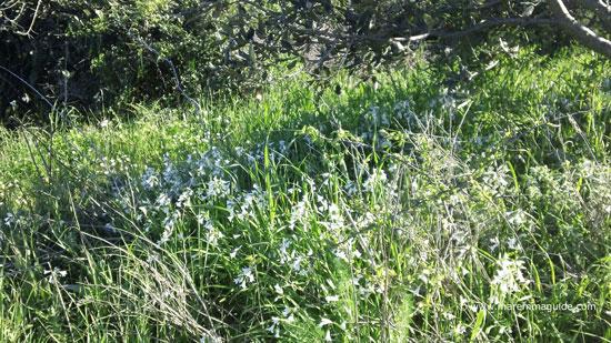 Wild garlic Allium ursinum - l'aglio orsino - in Maremma Tuscany