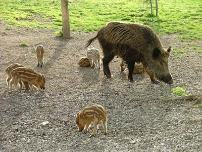 Wild pigs: female and piglet sounder in Maremma Italy