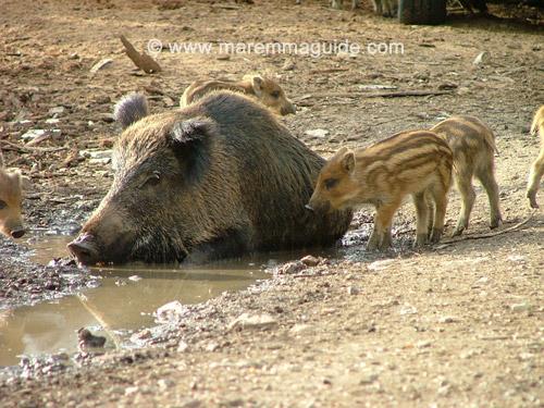 Wild pigs in Maremma Tuscany Italy