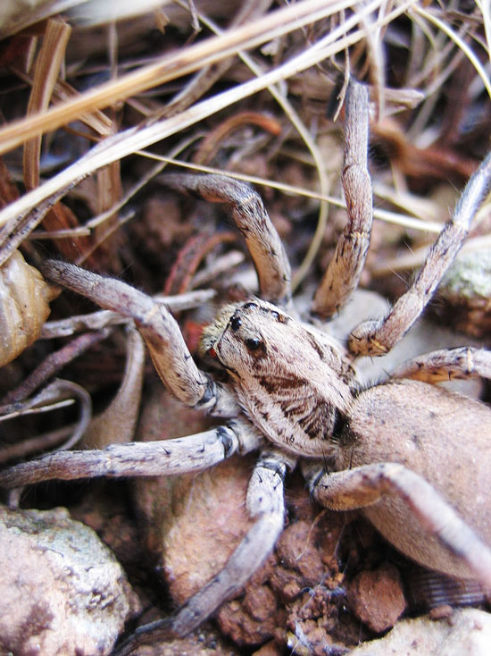 Wolf spiders in Italy