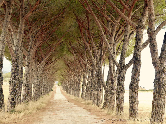 Agriturismo Alberese: the driveway to Tenuta La Valentina Nuova lined with old pine trees.