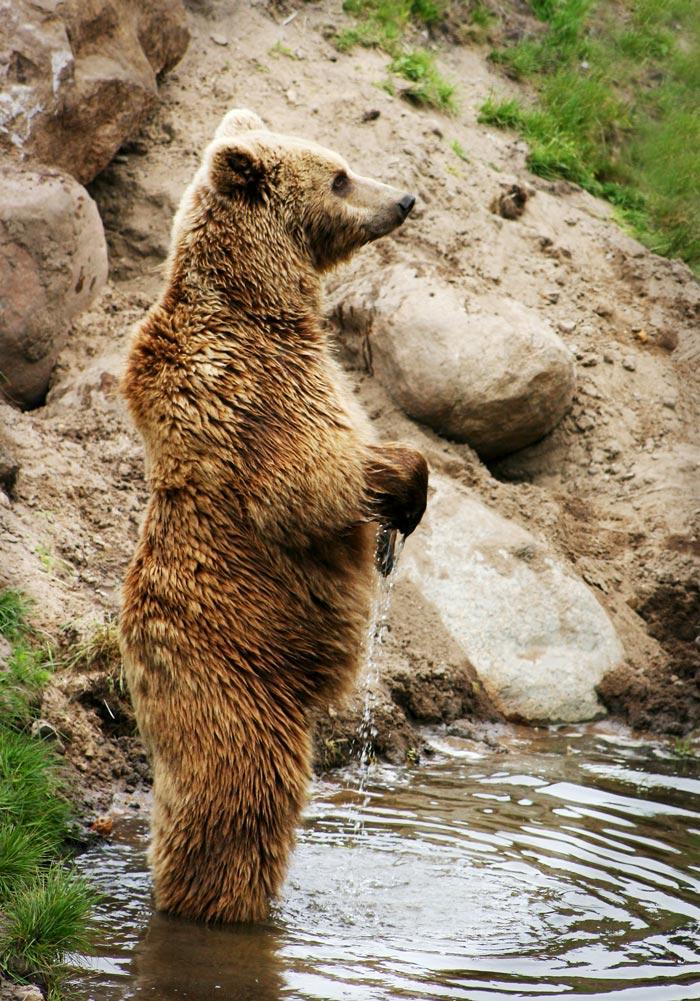 Bears in Italy