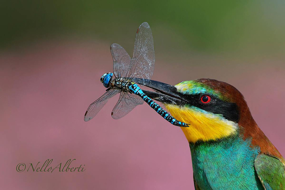Birds in Italy: European bee-eater with a dragonfly in its beak.