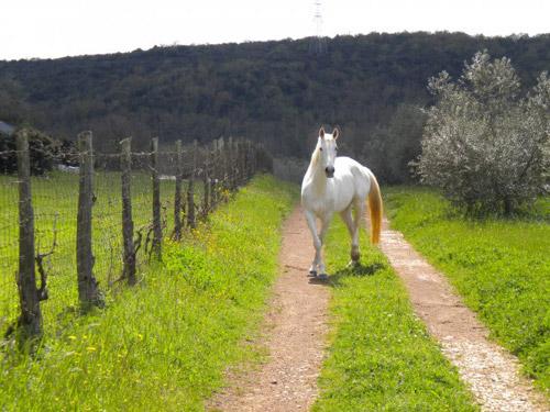 Tuscany farm holiday horse: the white mare at Borgognano Farm House near Massa Marittima in Maremma, Italy
