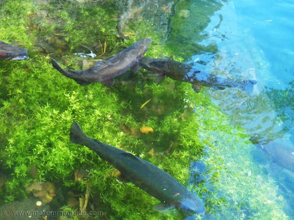 Brook trout in 14th century fishery in Santa Fiora, Maremma Tuscany.