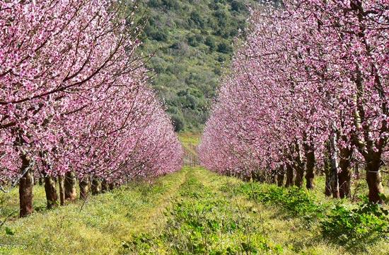 Cherry blossom trees in Maremma Tuscany Italy in March