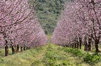 Maremma Italy cherry trees