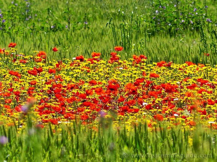 Tuscany spring flowers by the roadside.