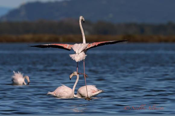 Flamingo Orbetello Lagoon, Maremma Tuscany Italy