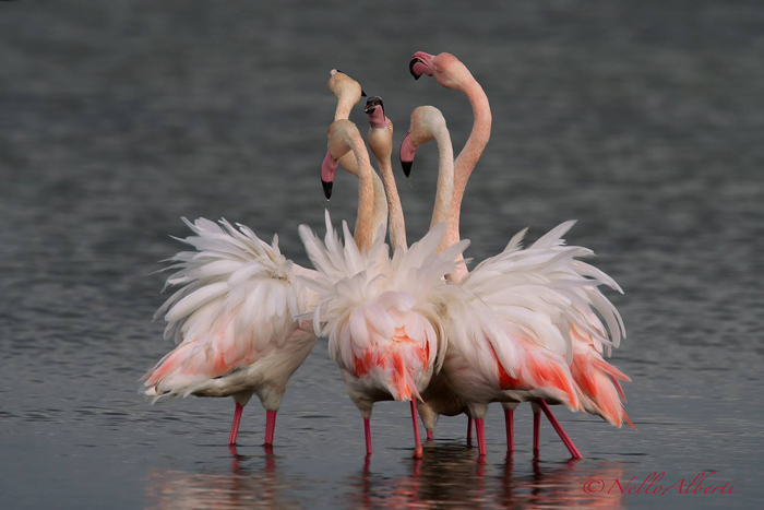 Animals in Italy: flamingoes in Maremma at Orbetello Lagoon