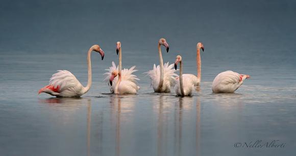Flamingoes Orbetello Lagoon in January