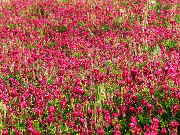 Pink wild flowers blooming in Tuscany Italy in spring