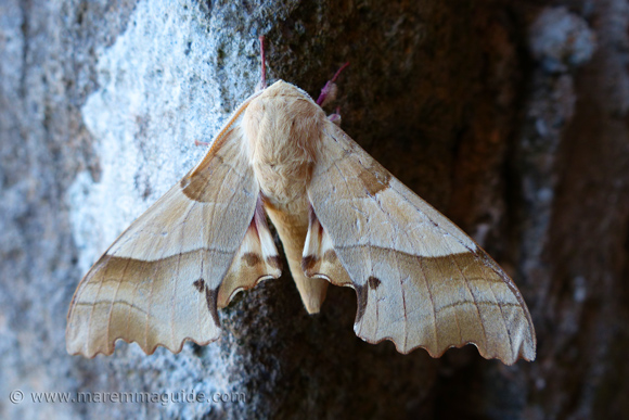 Oak Hawk-moth in Tuscany Italy