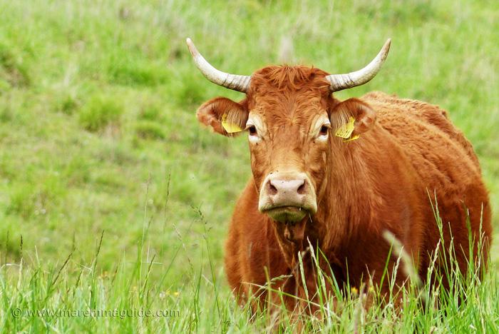 Italian cattle breeds