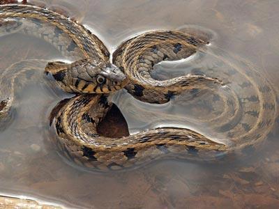 Italian snakes: Biscia dal collare, Grass Snake