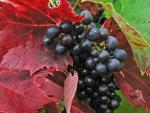 Italian vineyard Maremma Italy