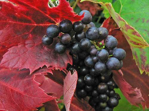 Grapes in an Italian vineyard