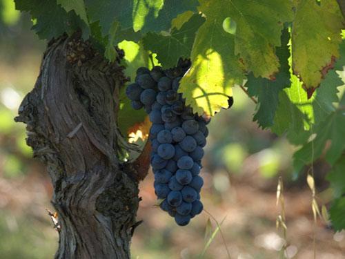 Italian Vineyards in Maremma