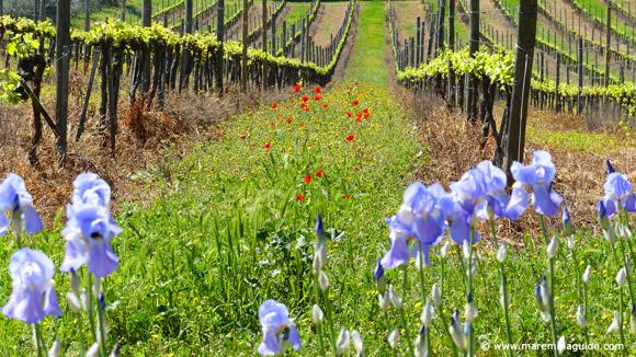 April wild flowers in Tuscany Maremma