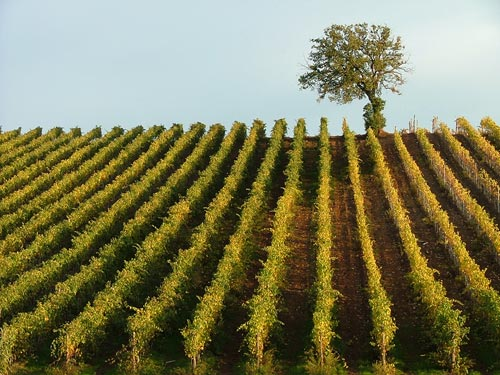 A Maremma Tuscany Vineyard