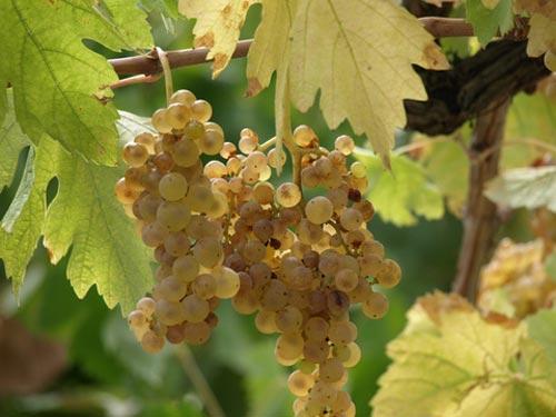 Vines in a Maremma Tuscany Vineyard