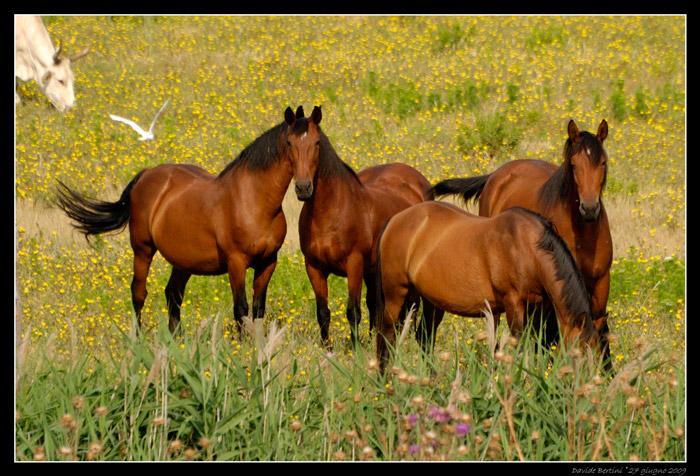 Maremmano horses in Maremma Italy.