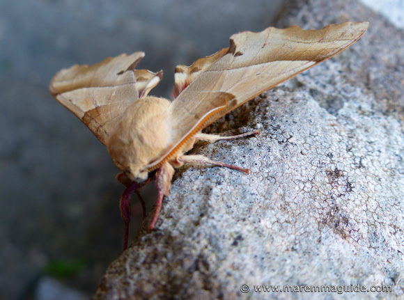 The rare Falena nocturnal moth Tuscany Italy