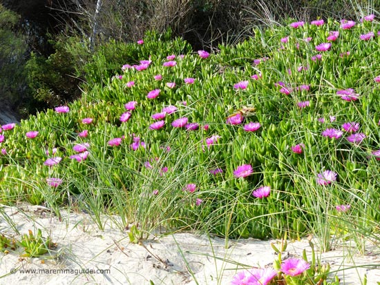 Spring flowers in Tuscany the dunes of the Parco della Sterpaia
