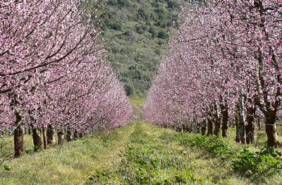Cherry trees in pink blossom in Maremma Italy