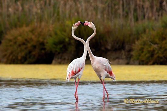 Pink flamingoes courting at Orbetello Laguna Maremma