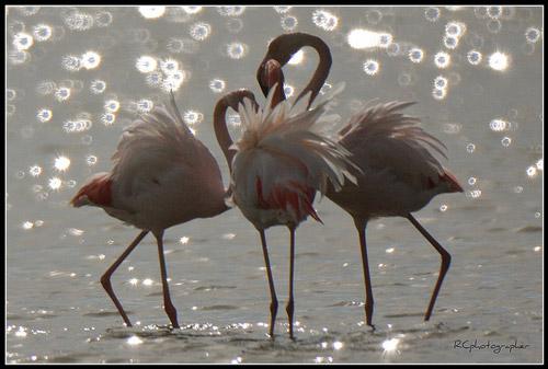 Pink flamingos in the Diaccia Botrona Nature Reserve near Castiglione della Pescaia, Maremma Italy