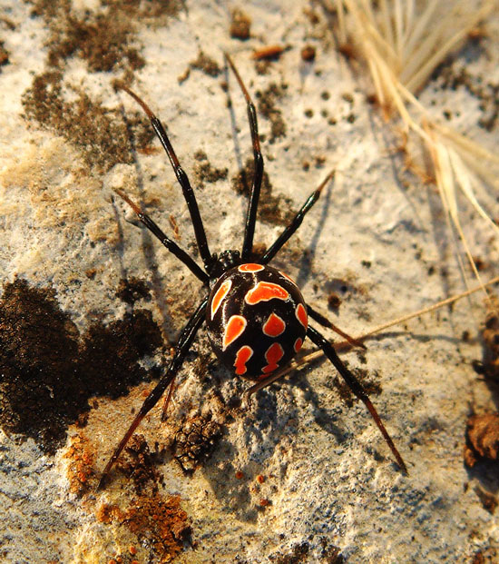 Poisonous spiders in Italy: the female Mediterranean black widow spider