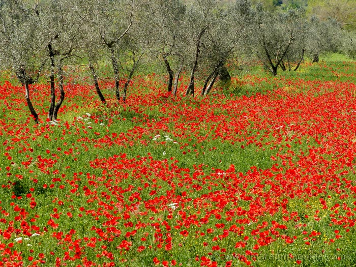 Poppies in Tuscany in spring.