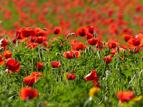 Poppies in Tuscany Italy in bloom in May