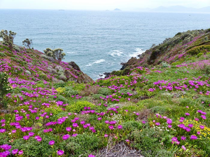 Punta Falcone wild flowers in bloom in April Tuscany