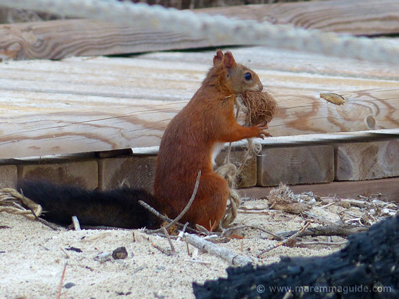Red squirrel - Sciurus vulgaris - collecting bedding for his drey on a Maremma beach