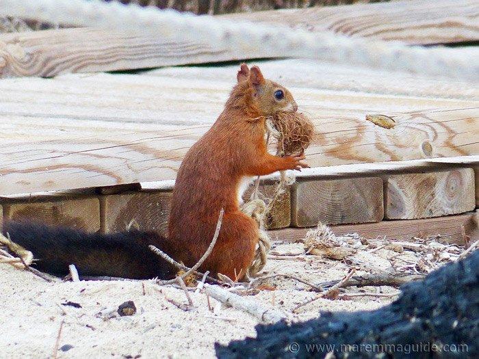 Red squirrel - Sciurus vulgaris - collecting bedding for his drey on a Maremma beach