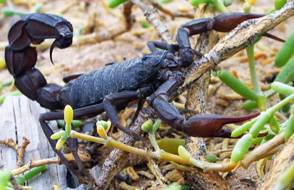 Scorpions in Italy