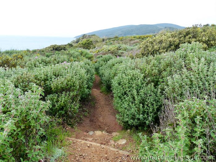 Trail through the scented macchia.