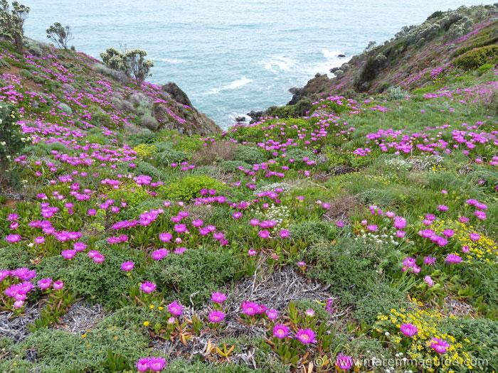 Secret Tuscany beach: carpert of Elands Sourfig in bloom in the spring.