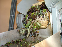 Separating the olives from leaves for cold press extraction