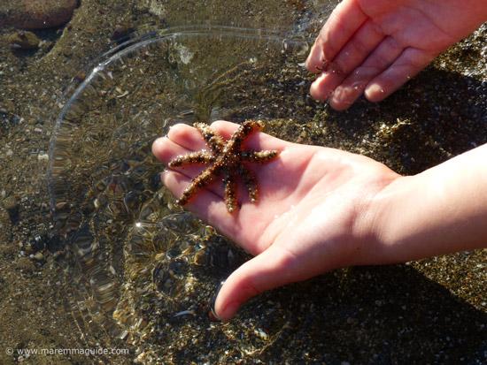 Seven-armed Starfish Luidia ciliaris