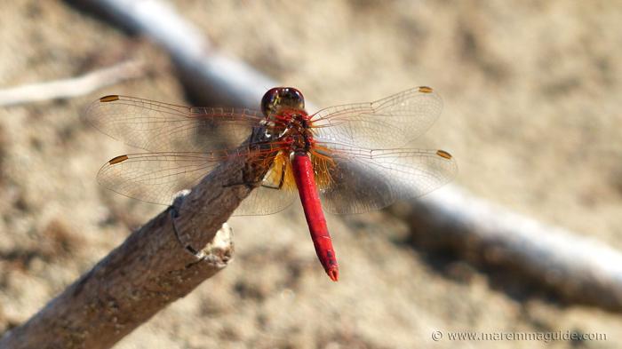 Skimmer dragonfly sunbathing on a beach.